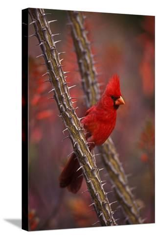 Portrait of a Male Cardinal, Cardinalis Cardinalis, Perched on a Thorny Branch-John Cancalosi-Stretched Canvas Print