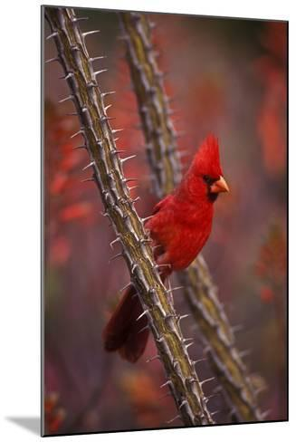 Portrait of a Male Cardinal, Cardinalis Cardinalis, Perched on a Thorny Branch-John Cancalosi-Mounted Photographic Print