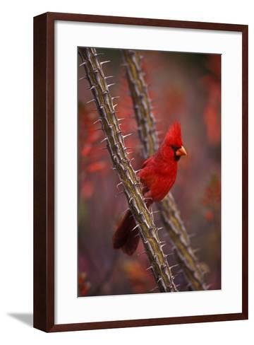 Portrait of a Male Cardinal, Cardinalis Cardinalis, Perched on a Thorny Branch-John Cancalosi-Framed Art Print