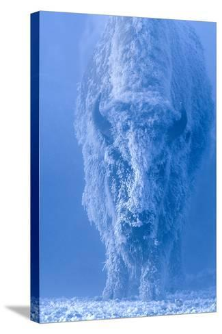 Portrait of a Female Buffalo or Bison with Frozen Snow on its Coat-Tom Murphy-Stretched Canvas Print