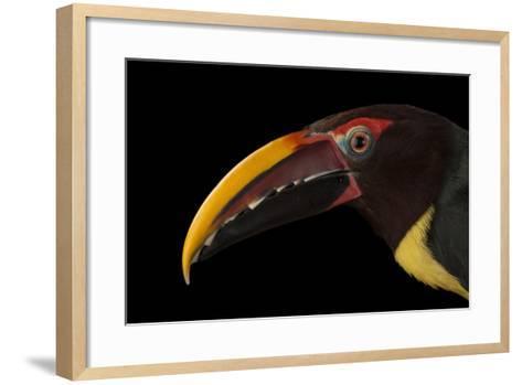 A Green Aracari, Pteroglossus Viridis, at the Houston Zoo-Joel Sartore-Framed Art Print