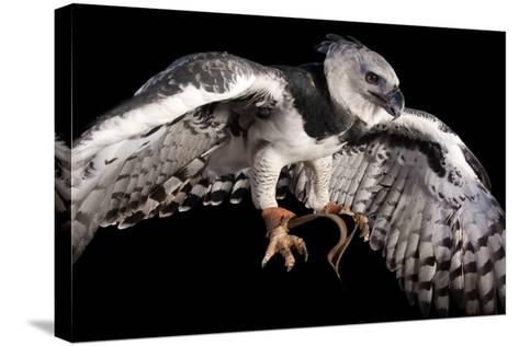 A Harpy Eagle, Harpia Harpyja, at the Los Angeles Zoo-Joel Sartore-Stretched Canvas Print