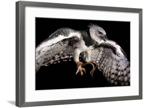 A Harpy Eagle, Harpia Harpyja, at the Los Angeles Zoo-Joel Sartore-Framed Art Print