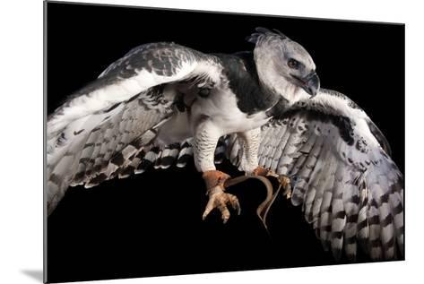 A Harpy Eagle, Harpia Harpyja, at the Los Angeles Zoo-Joel Sartore-Mounted Photographic Print