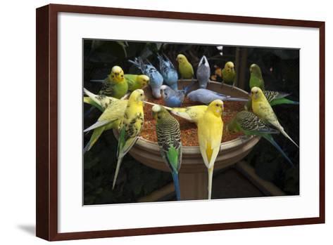 Parakeets or Budgies-Joel Sartore-Framed Art Print