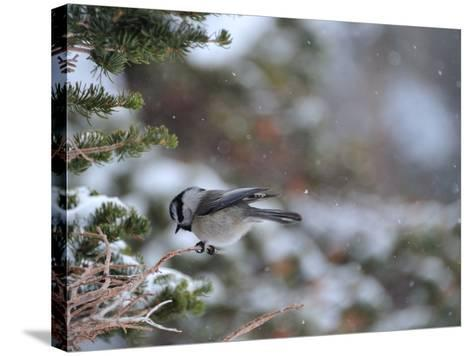A Black-Capped Chickadee, Poecile Atricapillus, in Rocky Mountain National Park-Keith Ladzinski-Stretched Canvas Print