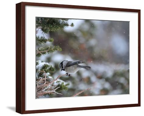 A Black-Capped Chickadee, Poecile Atricapillus, in Rocky Mountain National Park-Keith Ladzinski-Framed Art Print