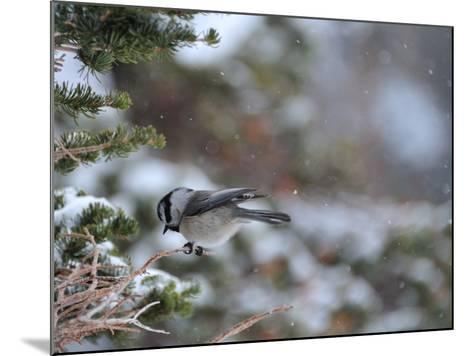 A Black-Capped Chickadee, Poecile Atricapillus, in Rocky Mountain National Park-Keith Ladzinski-Mounted Photographic Print