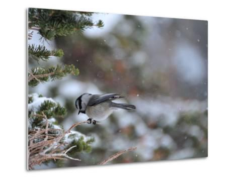 A Black-Capped Chickadee, Poecile Atricapillus, in Rocky Mountain National Park-Keith Ladzinski-Metal Print