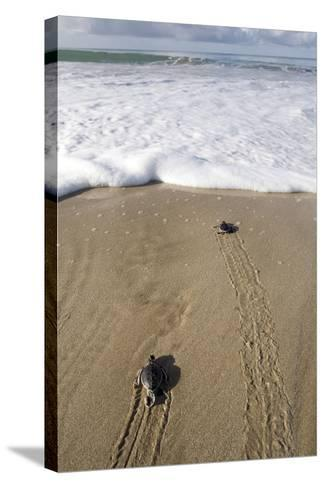 Sea Turtle Hatchlings Make their Way to the Sea-Adi Weda-Stretched Canvas Print
