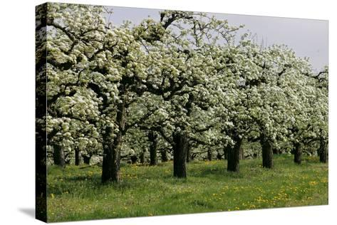 Pear Trees in Full Bloom in Zalasarszeg-Gyoergy Varga-Stretched Canvas Print