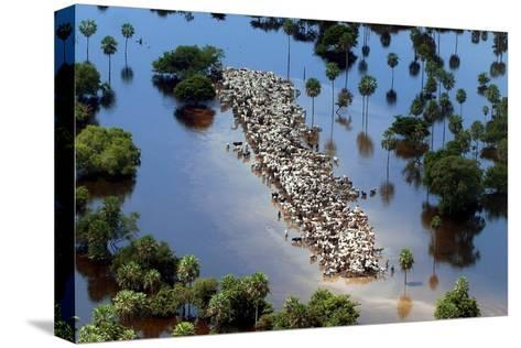 Cattle Gather on a Strip of Dry Land in Low-Lying Areas of the Bolivian Amazon-Martin Alipaz-Stretched Canvas Print