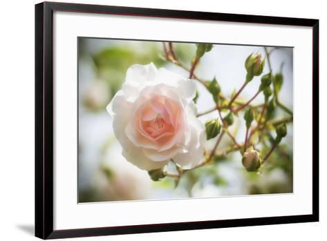 Garden Rose-Marco Carmassi-Framed Art Print