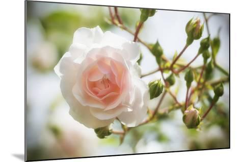 Garden Rose-Marco Carmassi-Mounted Photographic Print