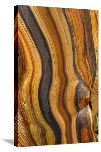 USA, California, Inyo National Forest. Patterns in a bristlecone pine.-Don Paulson-Stretched Canvas Print