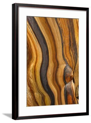 USA, California, Inyo National Forest. Patterns in a bristlecone pine.-Don Paulson-Framed Art Print