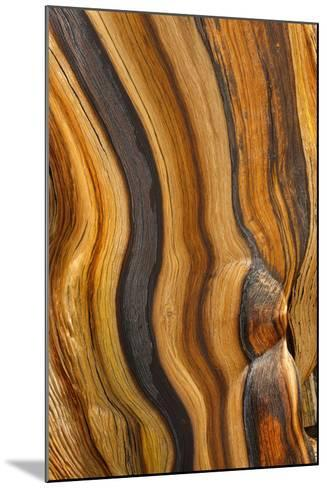 USA, California, Inyo National Forest. Patterns in a bristlecone pine.-Don Paulson-Mounted Photographic Print