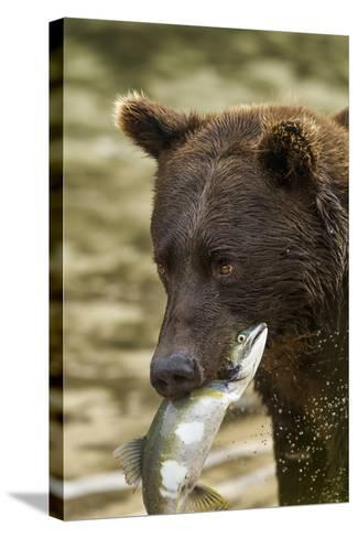 USA, Alaska, Katmai NP, Coastal Brown Bear eating salmon.-Paul Souders-Stretched Canvas Print