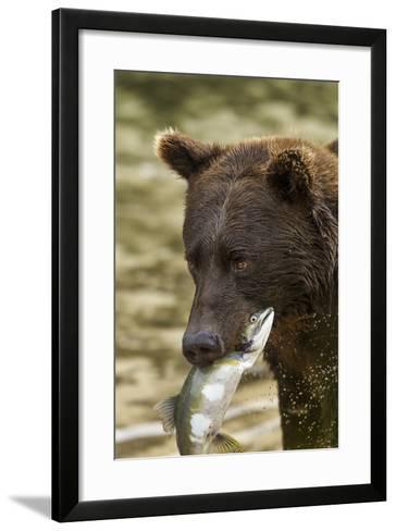 USA, Alaska, Katmai NP, Coastal Brown Bear eating salmon.-Paul Souders-Framed Art Print