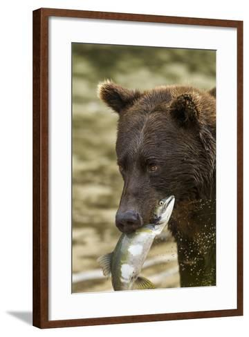 USA, Alaska, Katmai NP, Coastal Brown Bear eating salmon.-Paul Souders-Framed Art Print