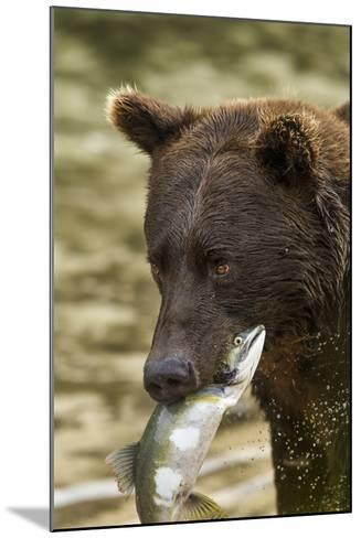 USA, Alaska, Katmai NP, Coastal Brown Bear eating salmon.-Paul Souders-Mounted Photographic Print
