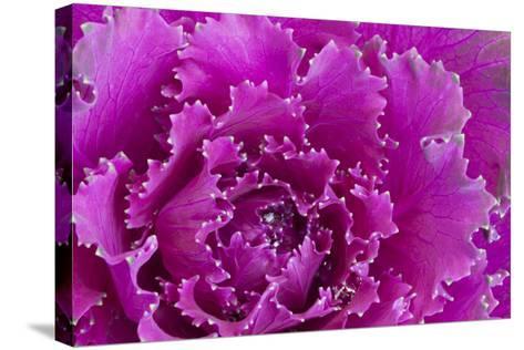 USA, Georgia, Savannah, Fancy leaf cabbage.-Joanne Wells-Stretched Canvas Print