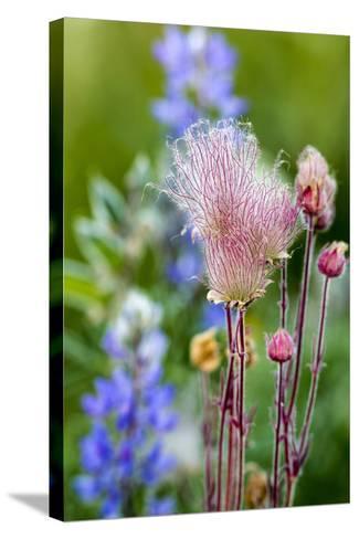 Prairie Smoke wildflowers in aspen grove in Glacier NP, Montana, USA-Chuck Haney-Stretched Canvas Print