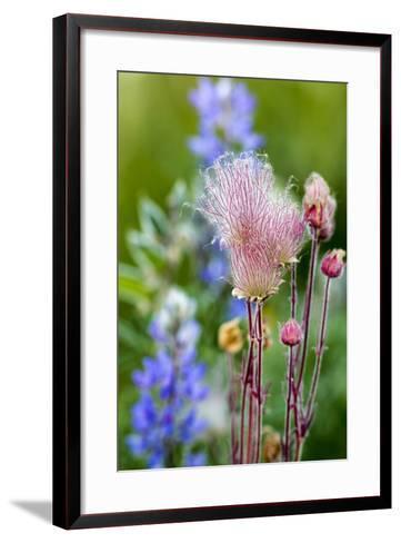 Prairie Smoke wildflowers in aspen grove in Glacier NP, Montana, USA-Chuck Haney-Framed Art Print