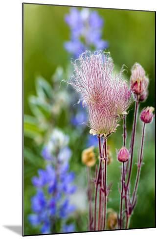 Prairie Smoke wildflowers in aspen grove in Glacier NP, Montana, USA-Chuck Haney-Mounted Photographic Print