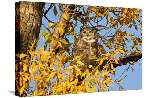 Great Horned Owl sleeping in cottonwood.-Larry Ditto-Stretched Canvas Print