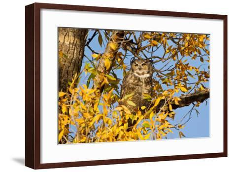 Great Horned Owl sleeping in cottonwood.-Larry Ditto-Framed Art Print