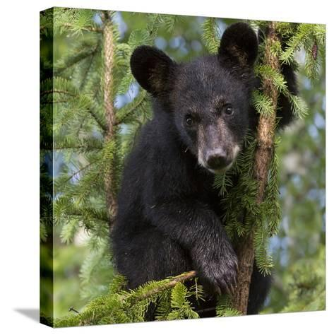 USA, Minnesota, Minnesota Wildlife Connection. Black bear in a tree.-Wendy Kaveney-Stretched Canvas Print