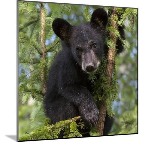 USA, Minnesota, Minnesota Wildlife Connection. Black bear in a tree.-Wendy Kaveney-Mounted Photographic Print