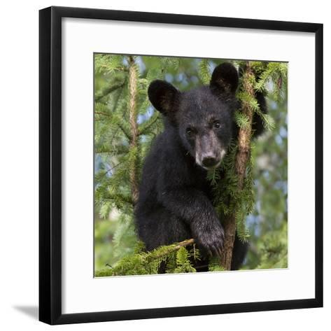 USA, Minnesota, Minnesota Wildlife Connection. Black bear in a tree.-Wendy Kaveney-Framed Art Print