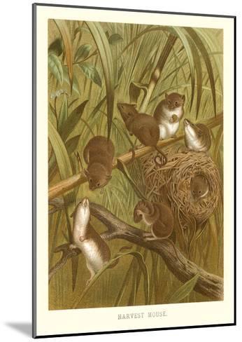 Harvest Mice--Mounted Art Print
