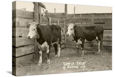 White-Faced Hereford Steer Twins--Stretched Canvas Print
