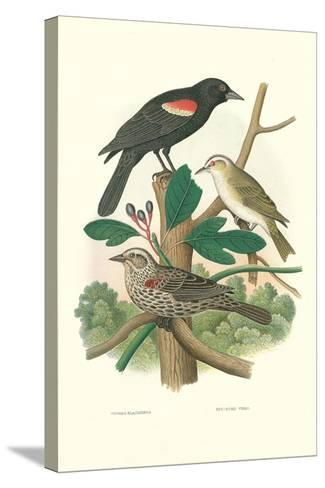Red-Eyed Vireo, Red Wing Blackbird--Stretched Canvas Print
