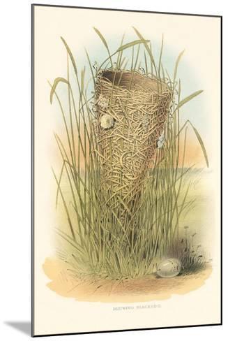 Redwing Blackbird Nest and Eggs--Mounted Art Print