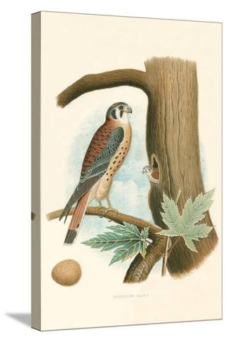 Sparrow Hawk and Egg--Stretched Canvas Print