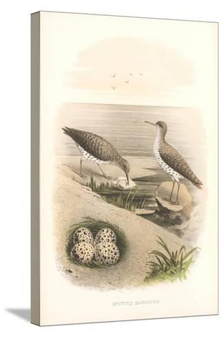 Spotted Sandpipers, Eggs--Stretched Canvas Print