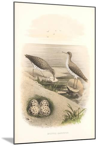 Spotted Sandpipers, Eggs--Mounted Art Print