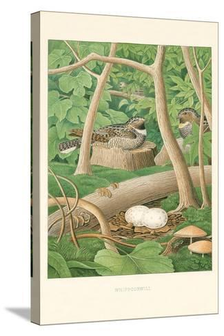 Whippoorwill Nest and Eggs--Stretched Canvas Print