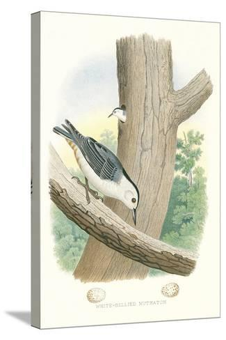 White-Bellied Nuthatch Nest and Eggs--Stretched Canvas Print