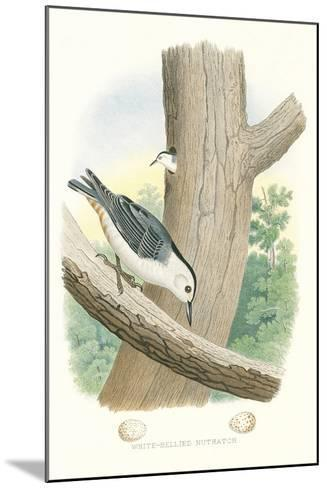 White-Bellied Nuthatch Nest and Eggs--Mounted Art Print