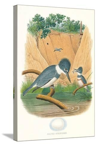 Belted Kingfisher and Egg--Stretched Canvas Print