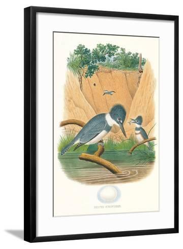 Belted Kingfisher and Egg--Framed Art Print