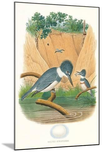 Belted Kingfisher and Egg--Mounted Art Print