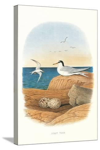 Least Tern and Eggs--Stretched Canvas Print
