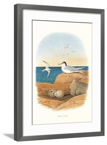 Least Tern and Eggs--Framed Art Print