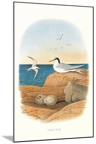 Least Tern and Eggs--Mounted Art Print